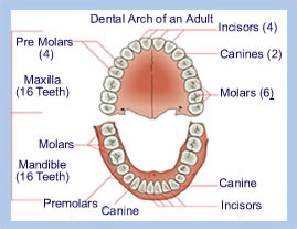 cause_of_adult_tooth_loss